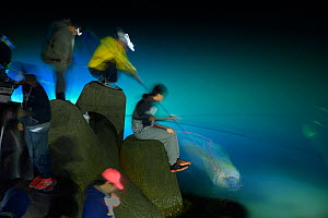 Local fisherman catching the bioluminescent Firefly Squid (Watasenia scintillans)  along the shore of Toyama Bay,  Japan, April 2017.  -  Solvin Zankl