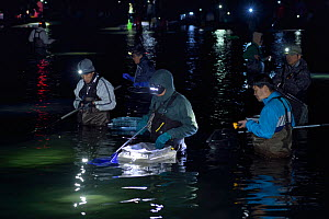 Local fisherman catching the Bioluminescent Firefly squid (Watasenia scintillans)  along the shore of Toyama Bay, in the central Japan Sea.Toyama, Japan.  April 2017.  -  Solvin Zankl