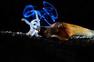 Firefly squid (Watasenia scintillans) on sea floor. This individual is not producing bioluminescence,  but bioluminescence from  another squid behind can be seen,  Toyama Bay, Japan, April.  -  Solvin Zankl