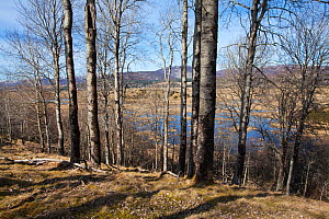 Insh Marshes RSPB reserve and Aspen (Populus tremula) Strathspey, Highland Region, Scotland, March. - Mike Read