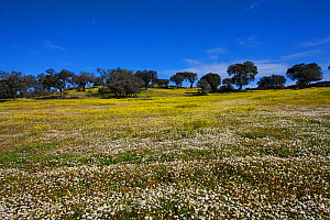 Cork oaks (Quercus suber) at edge of field with Anthemis chia on rolling plains near Entrados, Alentejo region, Portugal, February. - Mike Read