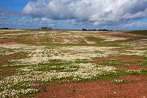 Flowers (Anthemis chia) mass on rolling plains near Sao Marcos Alentejo region, Portugal, February. - Mike Read