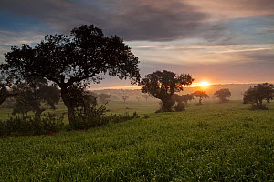 Cork oak (Quercus suber) and mist at sunrise near Sao Marcos da Ataboeira, Alentejo region, Portugal, February 2017 - Mike Read