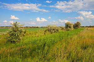 Drainage ditch and Common reed (Phragmites australis) through Puszta grassland near Tiszaalpar, Kiskunsag National Park, Hungary June 2017 - Mike Read
