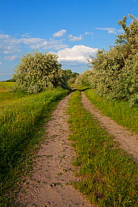 Track through Oleaster (Elaeagnus angustifolia) beside wildflower meadow on puszta grassland near Tiszaalpar, Kiskunsag National Park, Hungary, June. - Mike Read