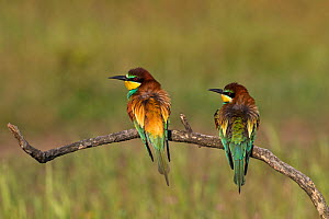 European bee-eater (Merops apiaster) pair perched on a branch near Tiszaalpar, Kiskunsag National Park, Hungary, May. - Mike Read