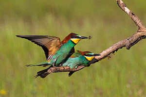 European bee-eater (Merops apiaster) pair mating on a branch one with an insect, Tiszaalpar, Kiskunsag National Park, Hungary, May. - Mike Read