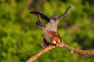 Red-footed falcon (Falco vespertinus) pair mating, Tiszaalpar, Kiskunsag National Park, Hungary May. - Mike Read