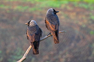 Western jackdaw (Corvus monedula) pair perched on a dead branch near Tiszaalpar, Kiskunsag National Park, Hungary May. - Mike Read