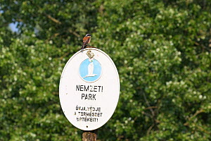 Red-backed shrike (Lanius collurio) male perched on National Park sign, Kiskunsag National Park, near Tiszaalpar, Hungary, June.  -  Mike Read
