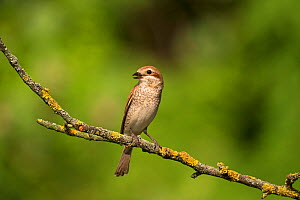 Red-backed shrike (Lanius collurio) female perched on dead branch, Kiskunsag National Park, near Tiszaalpar, Hungary, June.  -  Mike Read