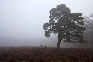 Scots pine (Pinus sylvestris) and flooded heathland in mist, near Brinken Wood, New Forest National Park, Hampshire, England, UK, January 2017 - Mike Read