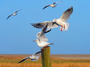 Black headed gulls (Larus ridibundus) in flight landing on post. East Anglia, England, UK, December. - Ernie  Janes