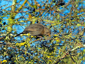 Blackbird (Turdus merula) female feeding on sloe berries in blackthorn hedge, Norfolk, England, UK, November.  -  Ernie  Janes