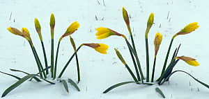 Daffodils emerging from prolonged snow, Norfolk, England, UK, March.  -  Ernie  Janes