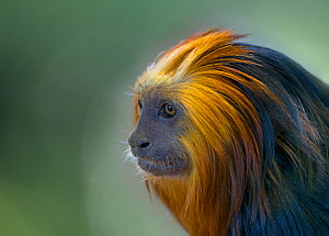 Golden-headed lion tamarin (Leontopithecus chrysomelas) portrait, captive, occurs in Brazil.  -  Ernie  Janes