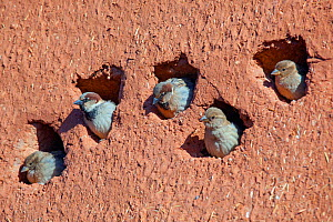 House sparrow (Passer domesticus) colony in building, Northern Morocco.  -  Ernie  Janes
