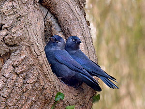 Jackdaws (Corvus monedula) pair at nesting site in early spring, Norfolk, England, UK. March. - Ernie  Janes