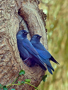 Jackdaws (Corvus monedula) pair at nesting site in tree trunk, early spring, Norfolk, England, UK. March. - Ernie  Janes