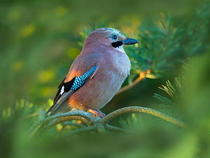 Jay (Garrulus glandarius) in winter. Norfolk, England, UK. December. Digitally added leaves in foreground.  -  Ernie  Janes