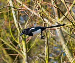 Magpie (Pica pica) perched in hedgerow, Titchwell, Norfolk, England, UK, February.  -  Ernie  Janes