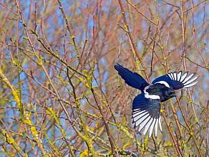 Magpie (Pica pica) taking off from hedgerow, Titchwell, Norfolk, England, UK, March.  -  Ernie  Janes