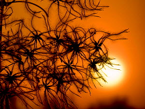 Oldmans beard (Clematis vitalba) seedheads silhouetted at sunset, Norfolk, England, UK. January.  -  Ernie  Janes