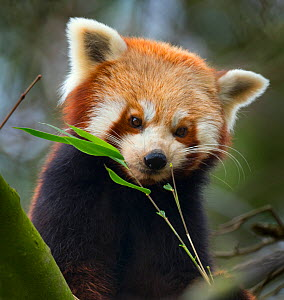 Red panda (Ailurus fulgens) captive, occurs in China. - Ernie  Janes
