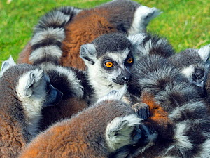 Ring-tailed lemur (Lemur catta) portrait, captive, occurs in Madagascar. - Ernie  Janes