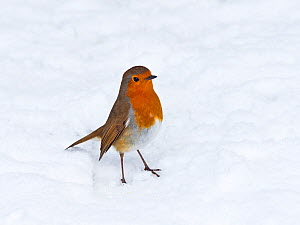 Robin (Erithacus rubecula) in snow, Norfolk, England, UK, February.  -  Ernie  Janes