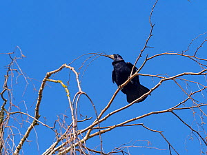 Rook (Corvus frugilegus) collecting sticks for nest, Norfolk, England, UK, March.  -  Ernie  Janes