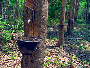 Rubber tree (Hevea brasiliensis) tapping with bucket full of latex, Thailand.  -  Ernie  Janes