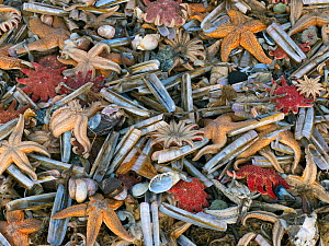 Large amounts of sea life including Common starfish (Asterias rubens) with Razor shells (Ensis) and Common sunstar (Crossaster papposus) washed up on the beach, Titchwell Beach, Norfolk, England, UK,...  -  Ernie  Janes