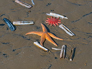 Common starfish (Asterias rubens) with Razor shells (Ensis) and Common sunstar (Crossaster papposus) washed up on the beach, Titchwell Beach, Norfolk, England, UK, March  -  Ernie  Janes