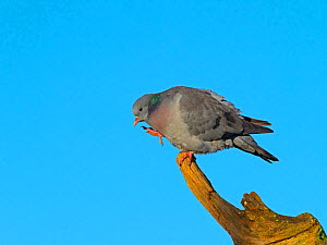 Stock dove (Columba oenas) preening with blue sky, Norfolk, England, UK. December. - Ernie  Janes