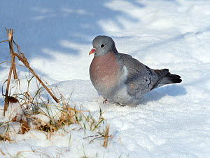 Stock dove (Columba oenas) in snowy field, Norfolk, England, UK. February. - Ernie  Janes