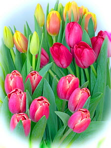 Tulips in flower with vignette, effect  -  Ernie  Janes