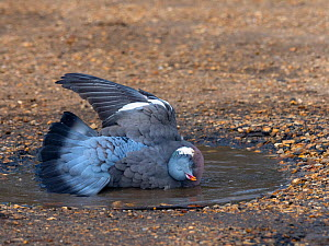 Wood pigeon (Columba palumbus) bathing in puddle in winter, Norfolk, England, UK. March. - Ernie  Janes