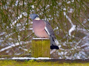 Wood pigeon (Columba palumbus) portrait  perched on post in winter with snow, Norfolk, England, UK. February. - Ernie  Janes
