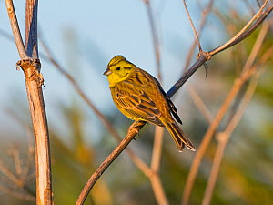 Yellowhammer (Emberiza citinella) perched, Norfolk, England, UK. December. - Ernie  Janes