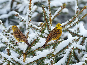 Yellowhammer (Emberiza citrinella) perched in snow covered conifer, Norfolk, England, UK. February. - Ernie  Janes