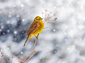 Yellowhammer (Emberiza citrinella) in winter snow.  Norfolk, England, UK. February. Falling snow digitally added. - Ernie  Janes