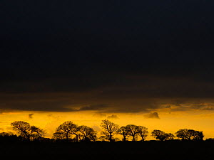 Dark winter arable farmland landscape with line of Oak trees (Quercus robur) silhouetted at dusk, Southrepps, Norfolk, England, UK, February.  -  Ernie  Janes