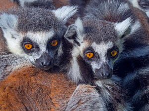 RF - Ring-tailed lemur (Lemur catta) family resting, captive occurs in Madagascar. (This image may be licensed either as rights managed or royalty free.) - Ernie  Janes