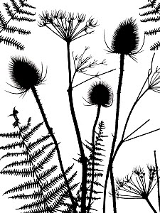 RF - Silhouette of Teasel (Dipsacus fullonum) with Bracken and Hedge parsley (Torilis sp) Norfolk, England, UK. (This image may be licensed either as rights managed or royalty free.) - Ernie  Janes