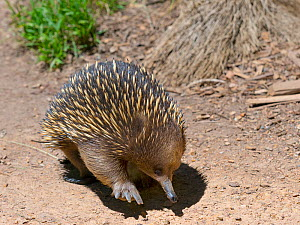 RF - Short-beaked echidna (Tachyglossus aculeatus) Australia. (This image may be licensed either as rights managed or royalty free.) - Ernie  Janes