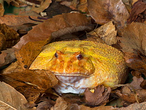 RF - Argentine horned frog (Ceratophrys ornata) albino variety, captive. Occurs in Brazil, Uraguay and Argentina. (This image may be licensed either as rights managed or royalty free.)  -  Ernie  Janes
