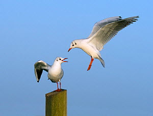 RF - Black headed gulls (Chroicocephalus ridibundus) two, in winter plumage, one trying to land on post where another is already sitting.  East Anglia, UK, November. (This image may be licensed either...  -  Ernie  Janes