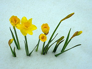 RF - Daffodils (Narcissus sp) emerging from prolonged snow Spring Norfolk UK (This image may be licensed either as rights managed or royalty free.)  -  Ernie  Janes