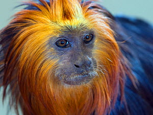 RF - Golden-headed lion tamarin (Leontopithecus chrysomelas) captive, endemic to Brazil. (This image may be licensed either as rights managed or royalty free.)  -  Ernie  Janes